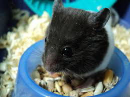 black hamster eating