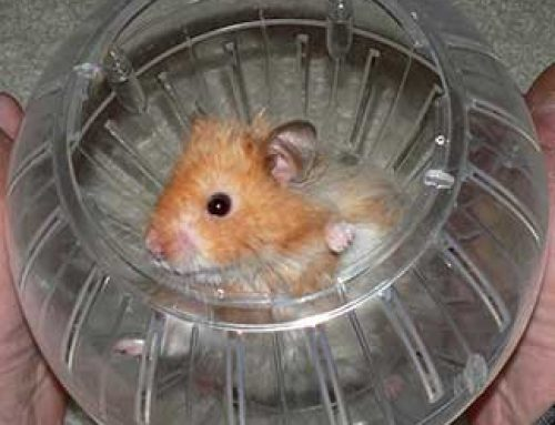 Choosing A Hamster Ball And Safety Precautions