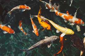 koi fish eating